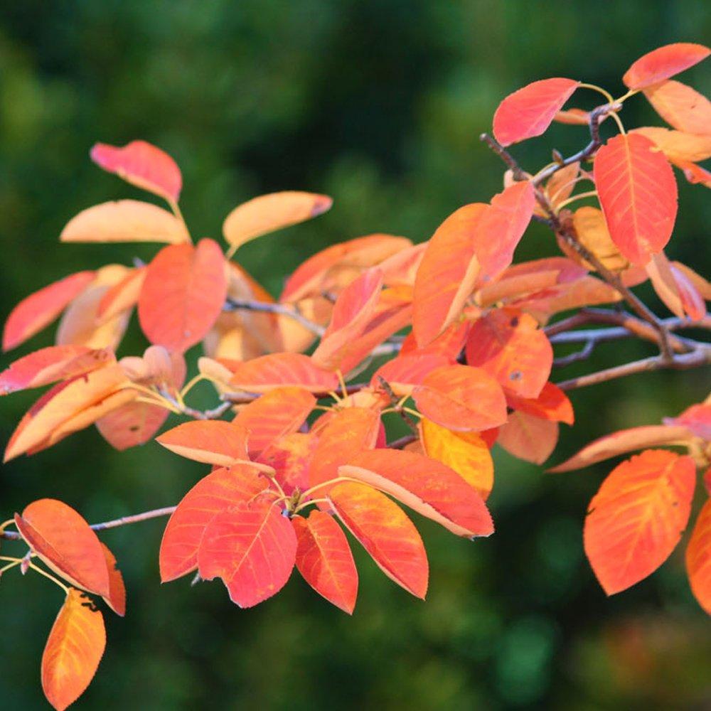 Amelanchier Yorkshire Autumn
